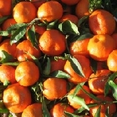Cl�mentines Siciliennes de Ribera - Entreprise Agricole Guarraggi