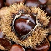 Marron brun d'Italie