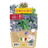 Bourrache – Plante aromathique en pot de 14 cm – Orto mio