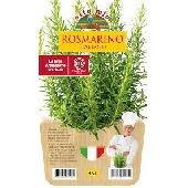 Romarin – plante en pot de 14 cm – Orto mio