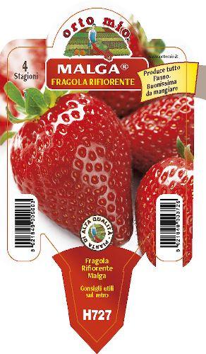 Re-floraison fraise. 4 saisons medio-precoce Malga - Orto Mio