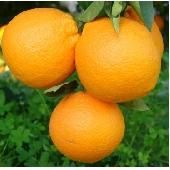 Oranges Sicile Ribera Fioroni ( Oranges  de Ribera Navel )