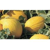 Melon Jaune Canari aus Sizilien
