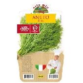 Aneth – Plante en pot 14 cm – Orto mio