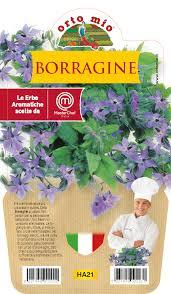 Bourrache � Plante aromathique en pot de 14 cm � Orto mio