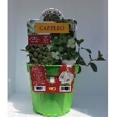 Câprier – Plante en pot de 14 cm – Orto mio