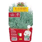 Helychrisum où l'Immortelle d'Italie – Plante en pot de 14 m – Orto moi