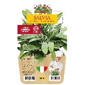 Salvia feuilles �troites vase 14 cm.- Orto mio